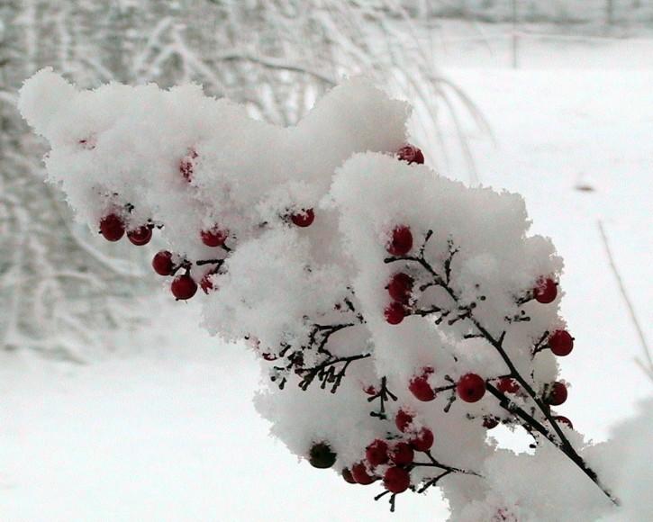 nandina-berries_w725_h580
